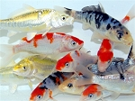 KOI FISH ASSORTMENT (A)