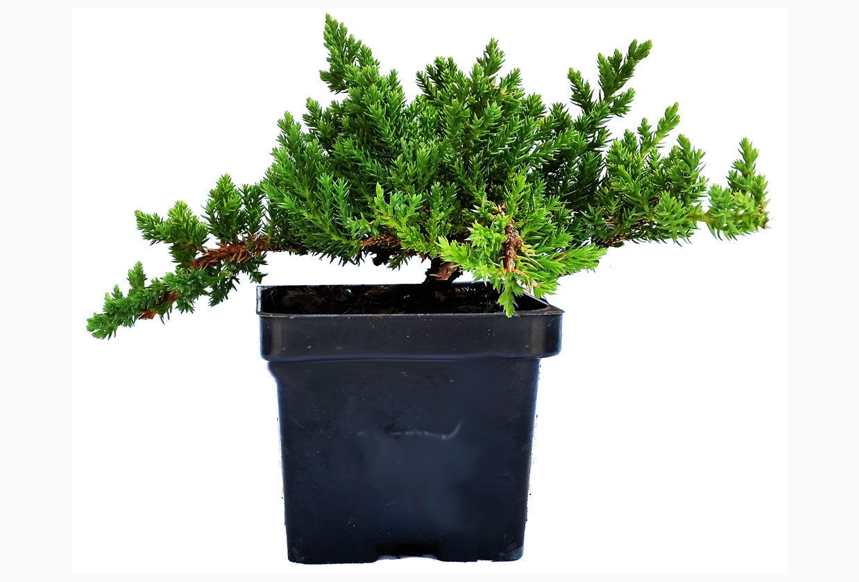 Dwarf Japanese Garden Juniper in 4