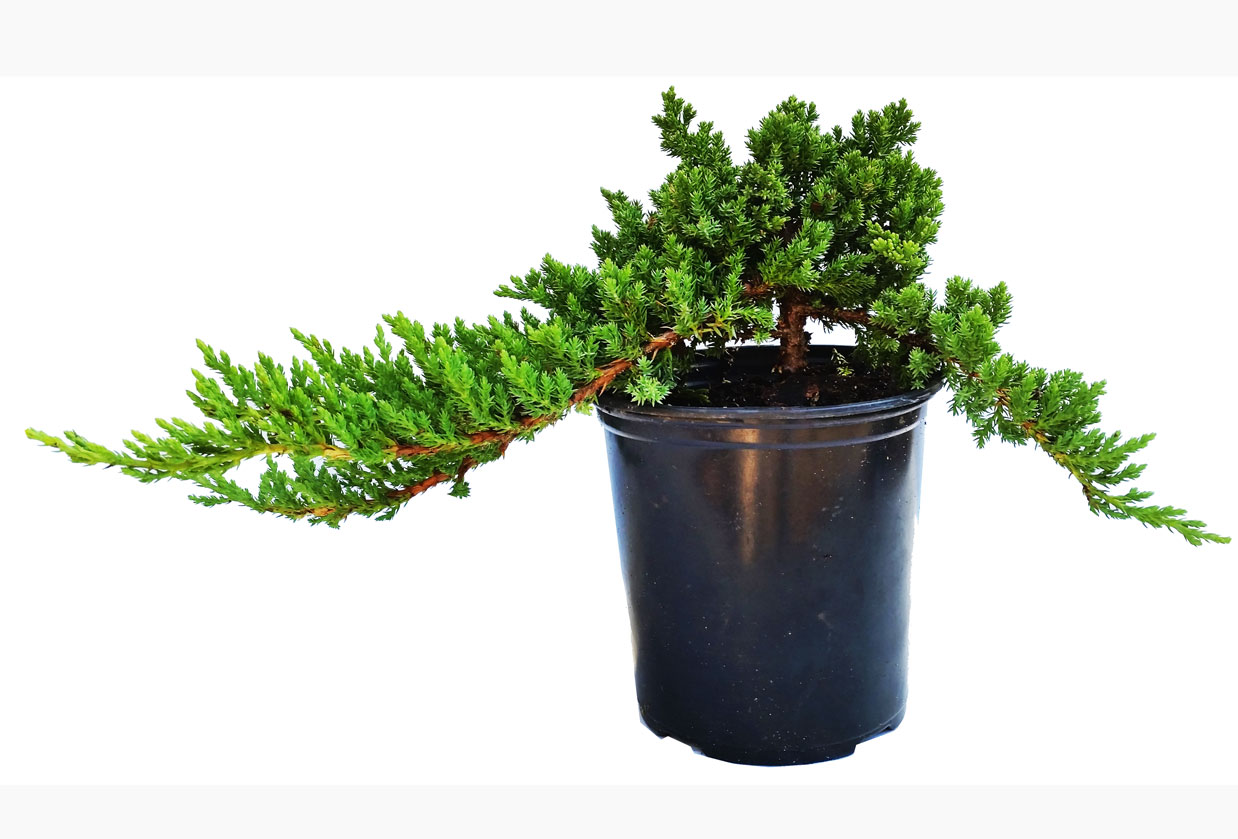 Dwarf Japanese Garden Juniper in Gallon Starter Pot