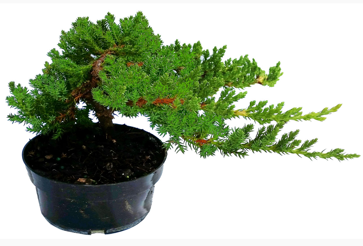 Dwarf Japanese Garden Juniper in 5
