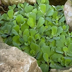 WATER LETTUCE - FLOATING PLANT - 1-DOZEN (12)