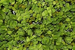 SALVINIA - FLOATING POND PLANT - 3-SCOOPS