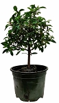 DWARF AUSTRALIAN BRUSH CHERRY - 4