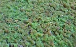 AZOLLA - FLOATING POND PLANT - 3-SCOOPS