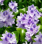 WATER HYACINTH - FLOATING PLANT - 1-DOZEN (12)